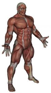 Rodzaje włókien mięśniowych